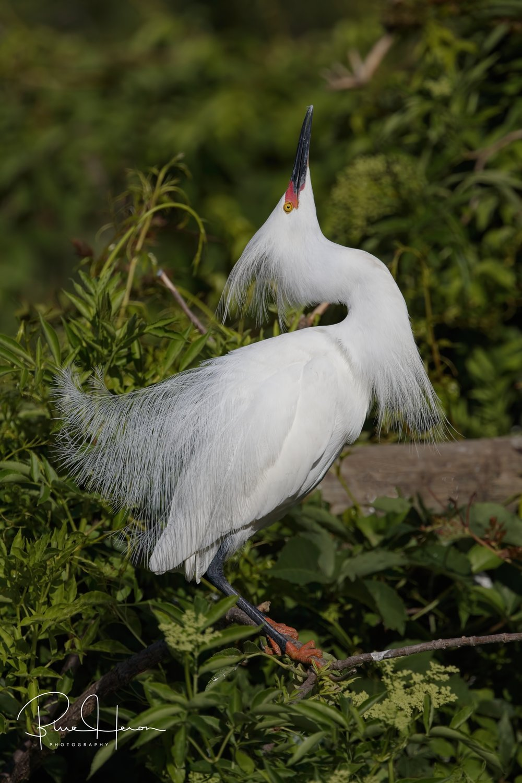 Snowy Egret breeding display