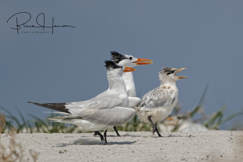 Follow me ladies, the beach is this way..Royal Tern chick leads the way