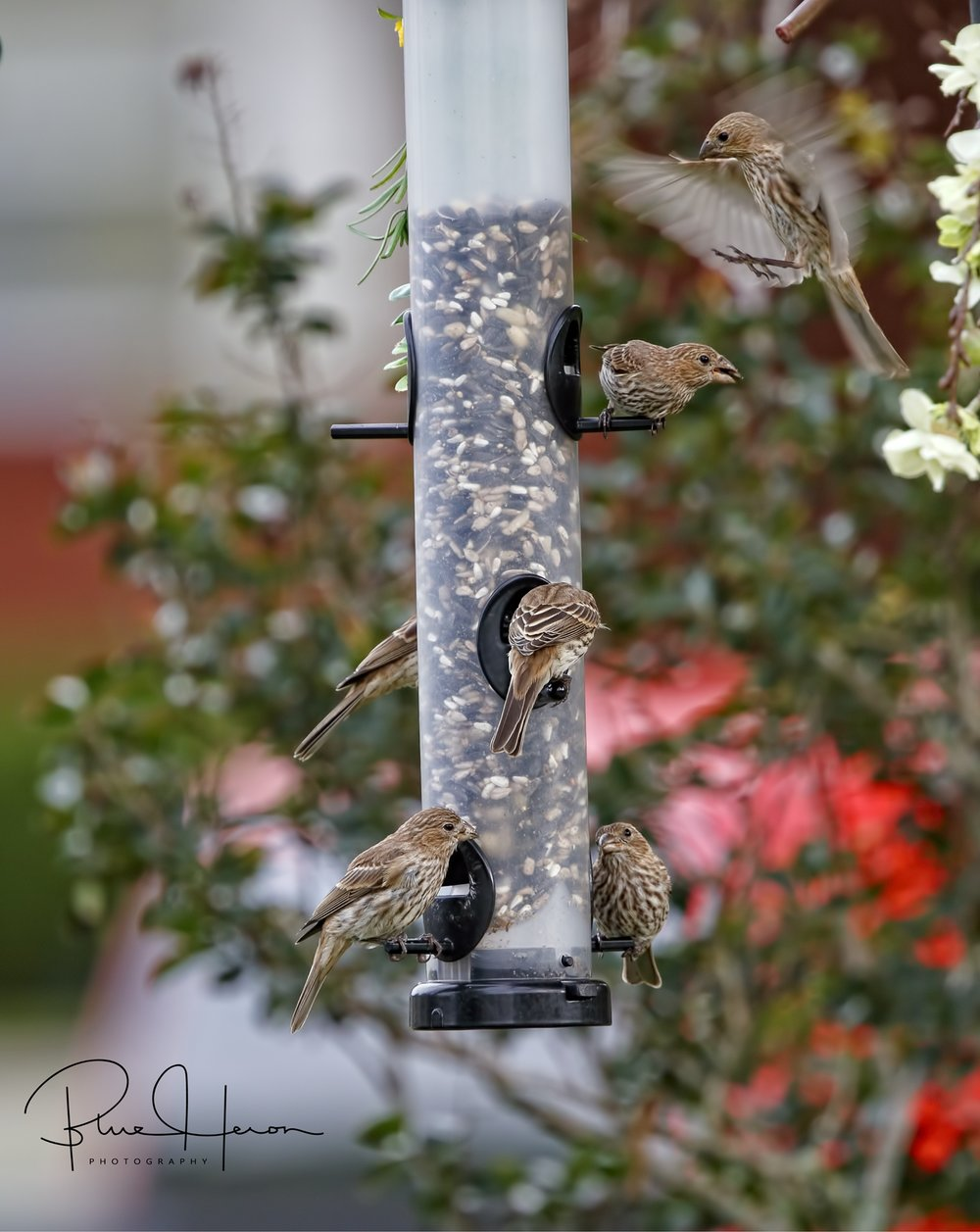 New Bird Feeder is very popular with the House Finches.