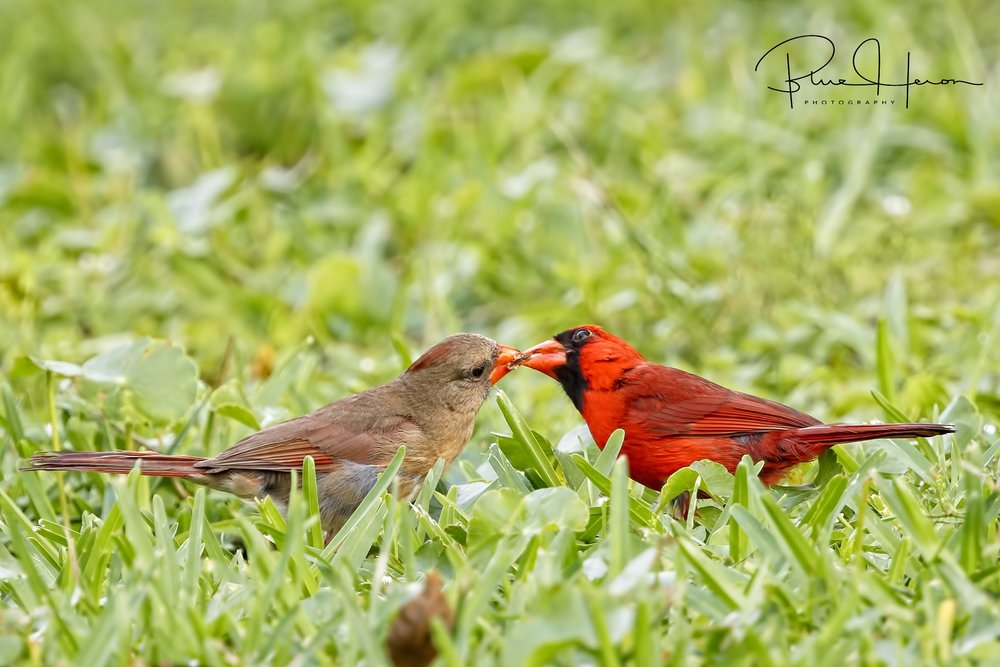Sealed with a kiss..Northern Cardinal entices its mate with a seed offering.
