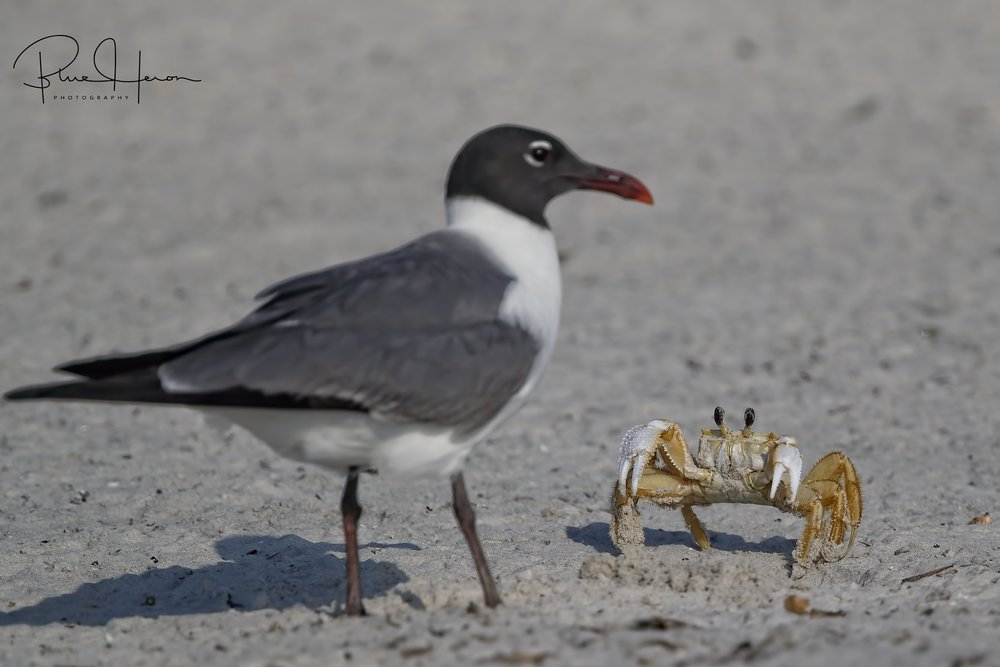 Danger lurks beneath the sand with the Ghost Crabs trying to eat the eggs.