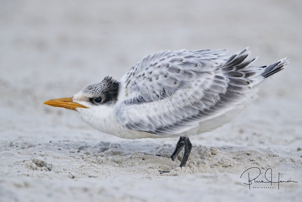 This Royal Tern chick in nearly ready to fledge..