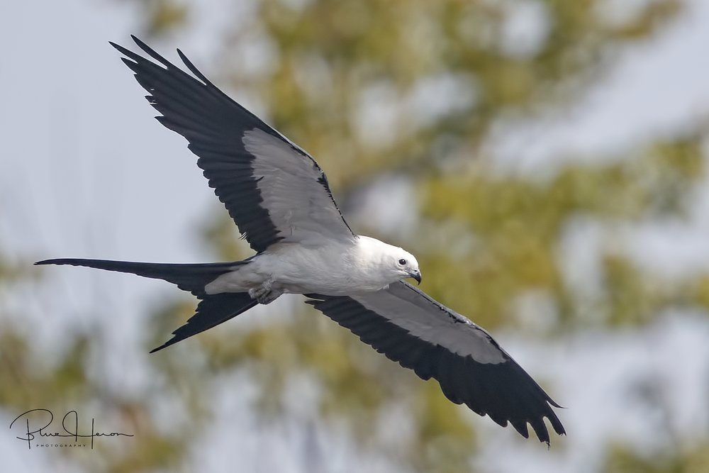 The Swallow-tailed Kites are starting their migration gathering to head back to Brazil