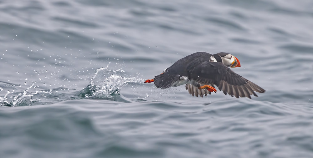 Puffins need to take a running start to lift off due to their short stubby wings..