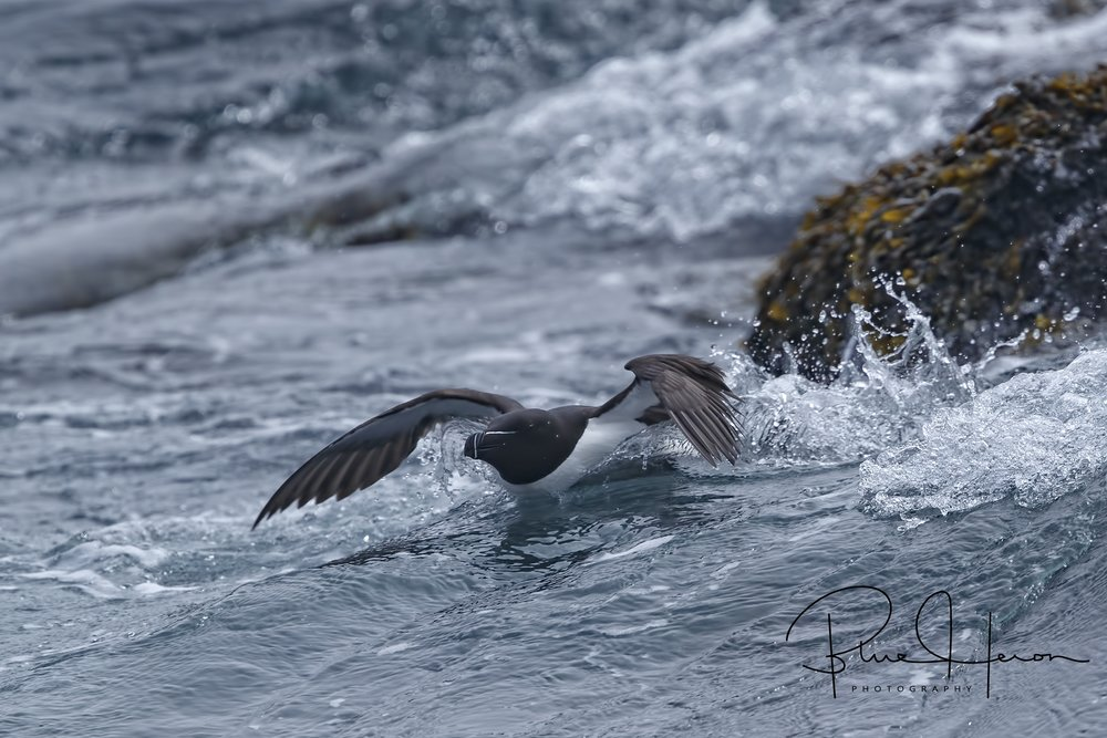 A Razorbill launches into the surf from the island