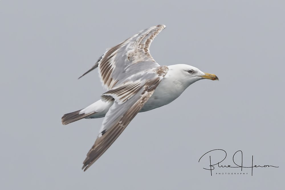 Juvenile Herring Gull fly by..