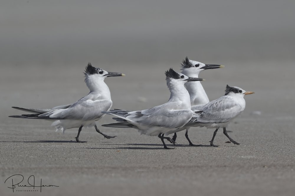 Sandwich Terns escort a juvenile fledgling to the beach