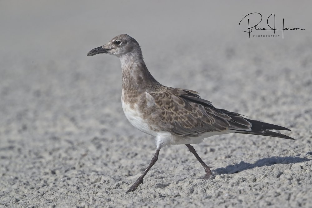 This juvenile Laughing Gull has fully fledged and eating on its own now..