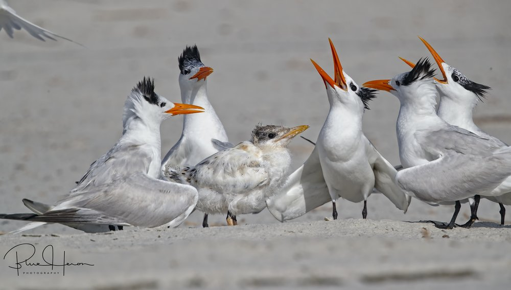 The Royal Terns are protecting this young fledgling waiting to be fed still.