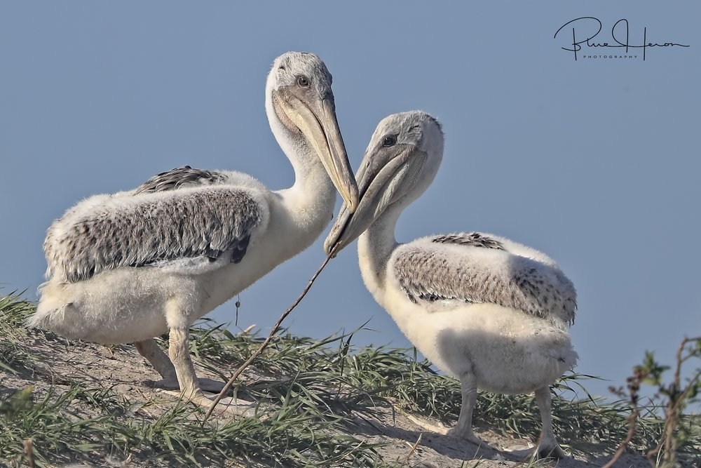 Brown Pelican chicks are starting to feather and growing fast.