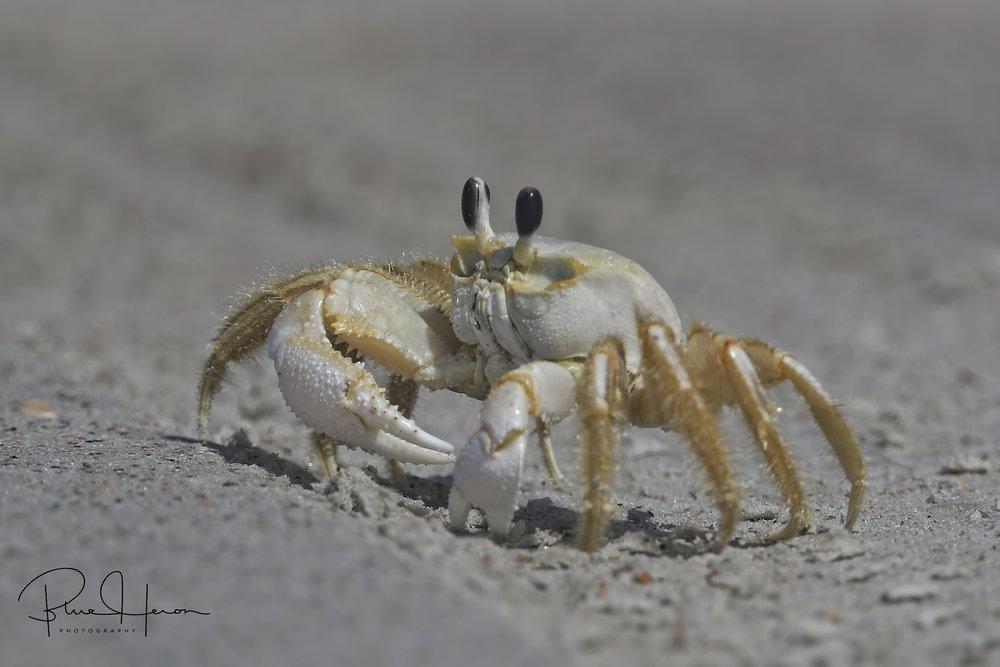 Gaspar the friendly Ghost Crab..