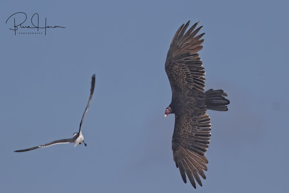 A Turkey Vulture is harassed by the Laughing Gull as it looks for easy picking in the dunes...