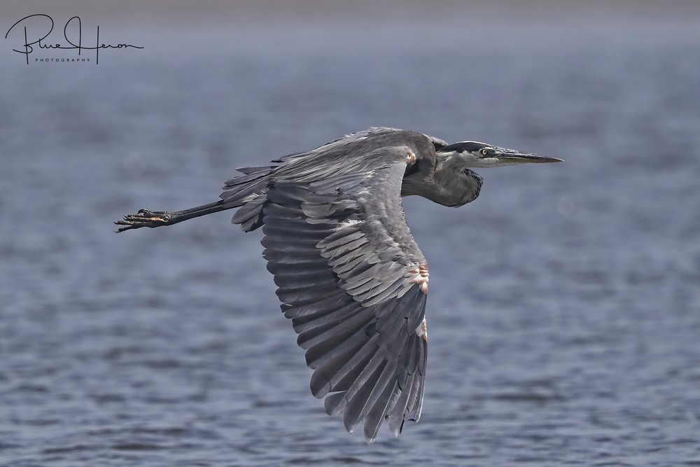 Dog days are gone, summer is flying by like this Great Blue Heron..
