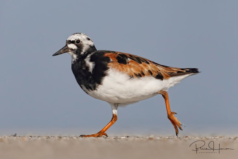 "A Ruddy Turnstone Male scans the beach sand for tidbits..they ""turn over stones"" looking for what is underneath, thus the name.."