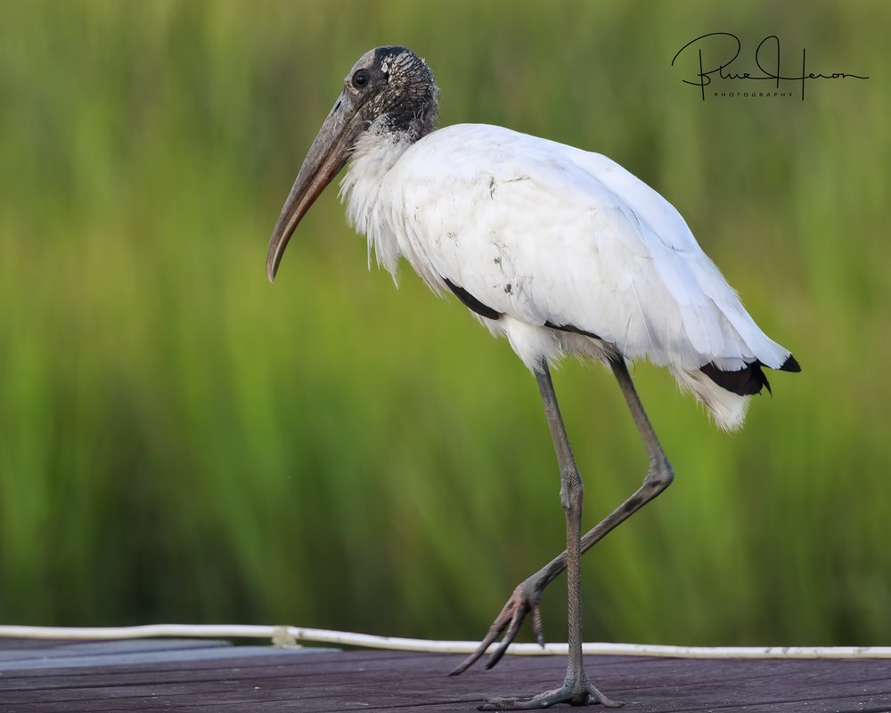 Found this   beautiful Wood Stork on the dock this week