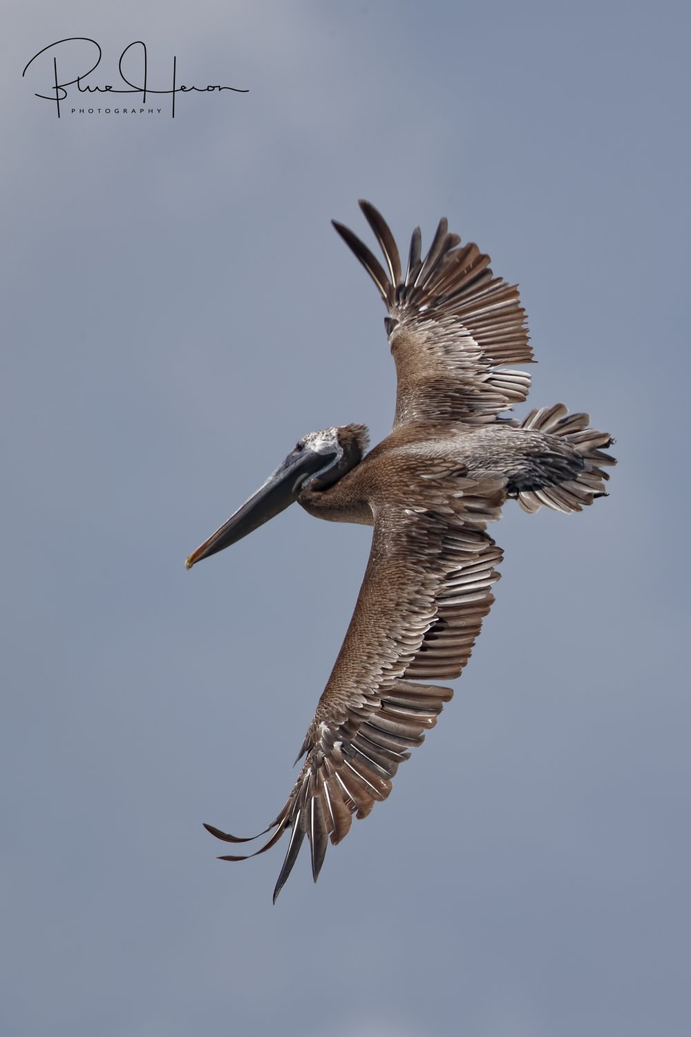 An adult Brown Pelican makes its final turn into he colony to feed the chicks.