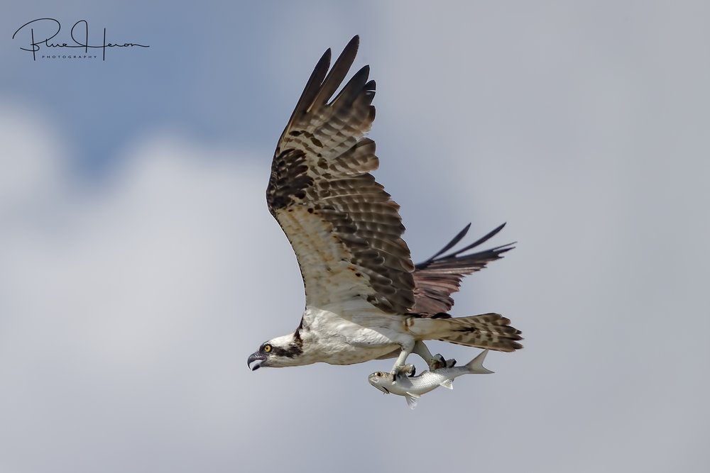 Several Osprey were busy fishing also..guess who is coming for dinner?