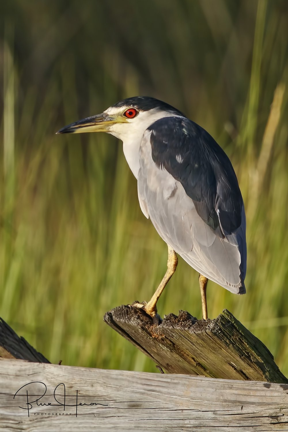 The red-eyed Black-crowned Night Herons are also up early or most likely stayed up all night from the looks of those eyes.