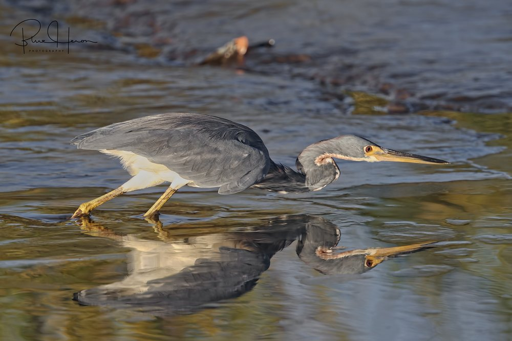 Tricolored Heron hunting minnows in the outgoing tidal stream.