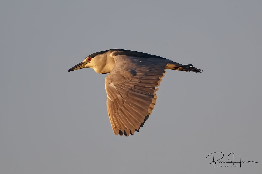 A Black-crowned Night Heron flies over the Broward