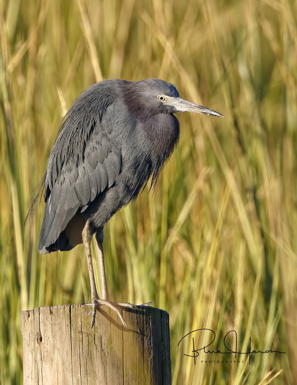 Broward Bob the Little Blue Heron has his favorite piling also..