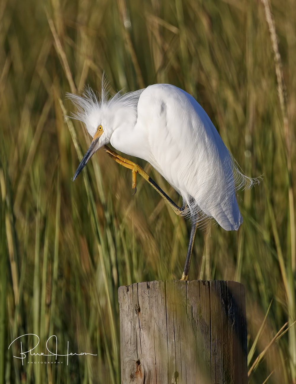 Snowy Egret itching to start the day