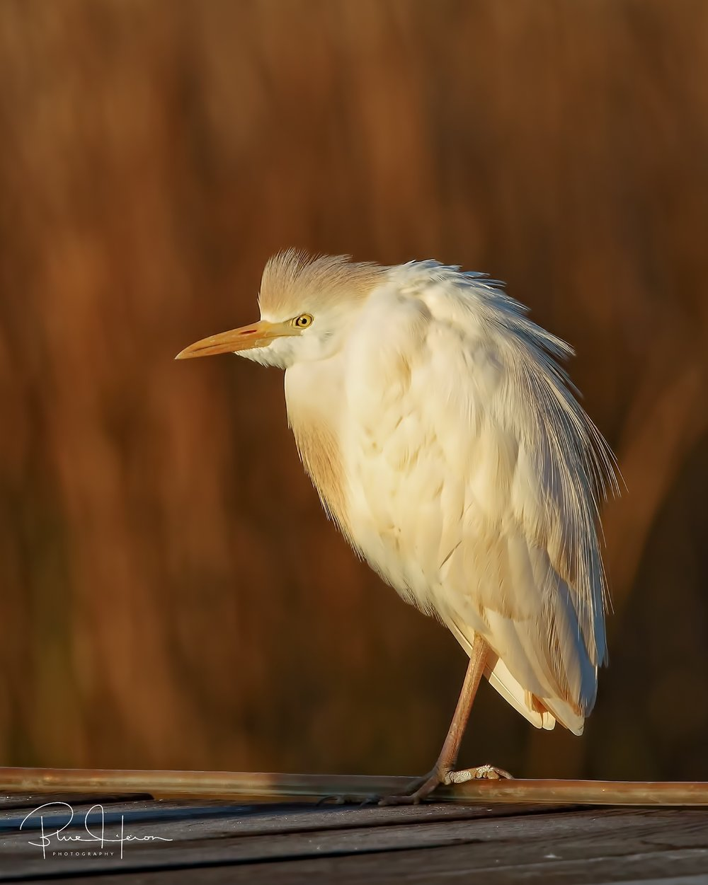 Cattle Egrets are year round residents but rarely stop by the dock.