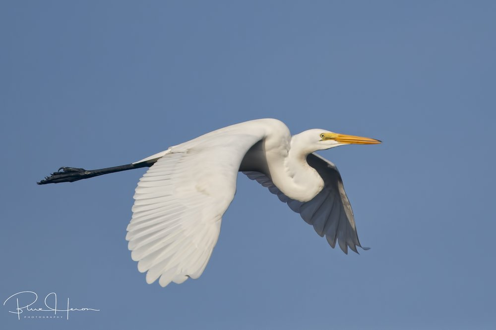 A Great Egret flies by in perfect morning light