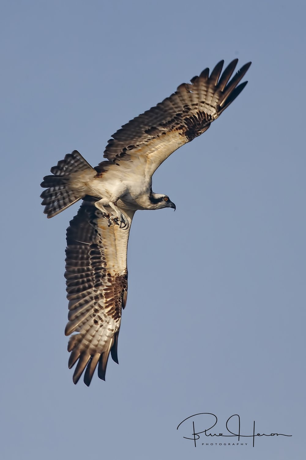Osprey spots a fish and prepares to go into a dive..