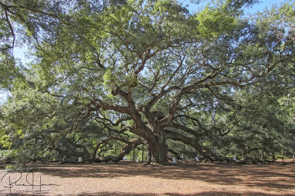 On the third Day He created trees like this ancient oak call Angel Oak on Johns Island South Carolina, estimated to be 300-400 years old.
