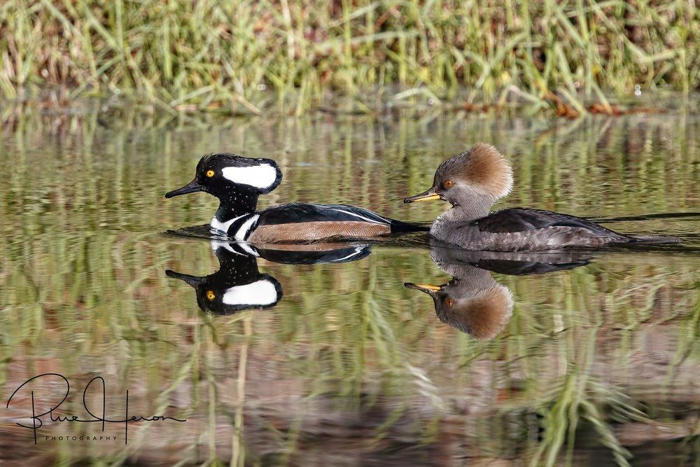 Mating pair of Hooded Merganser ducks,,male on the left..female on the right..