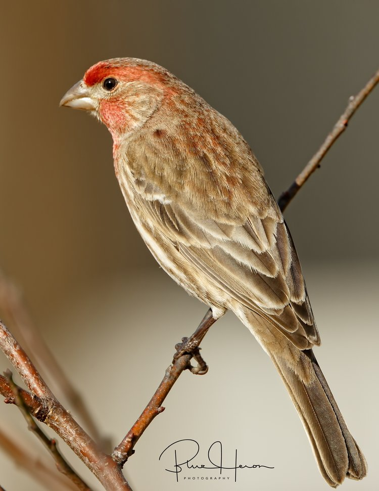 Male House Finch awaits a turn at the feeder..