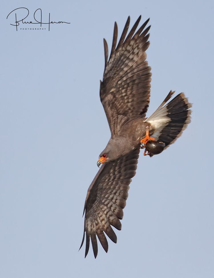 Male Snail Kite bringing food (apple snail) to the nest for the young ones..