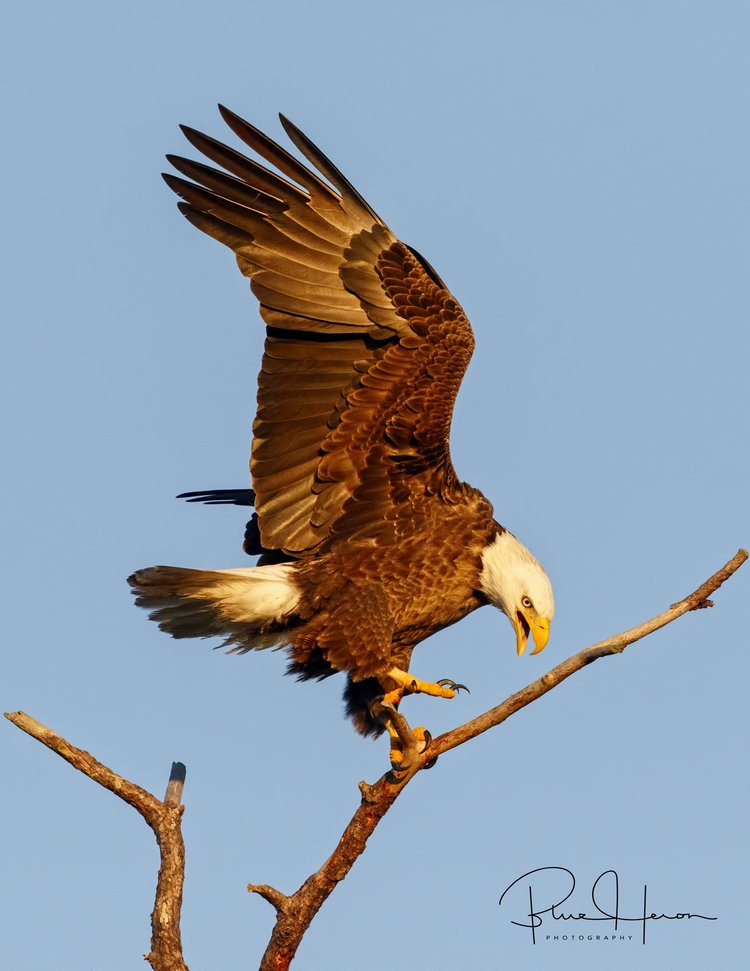 The majestic Bald Eagle, symbol of our nation..
