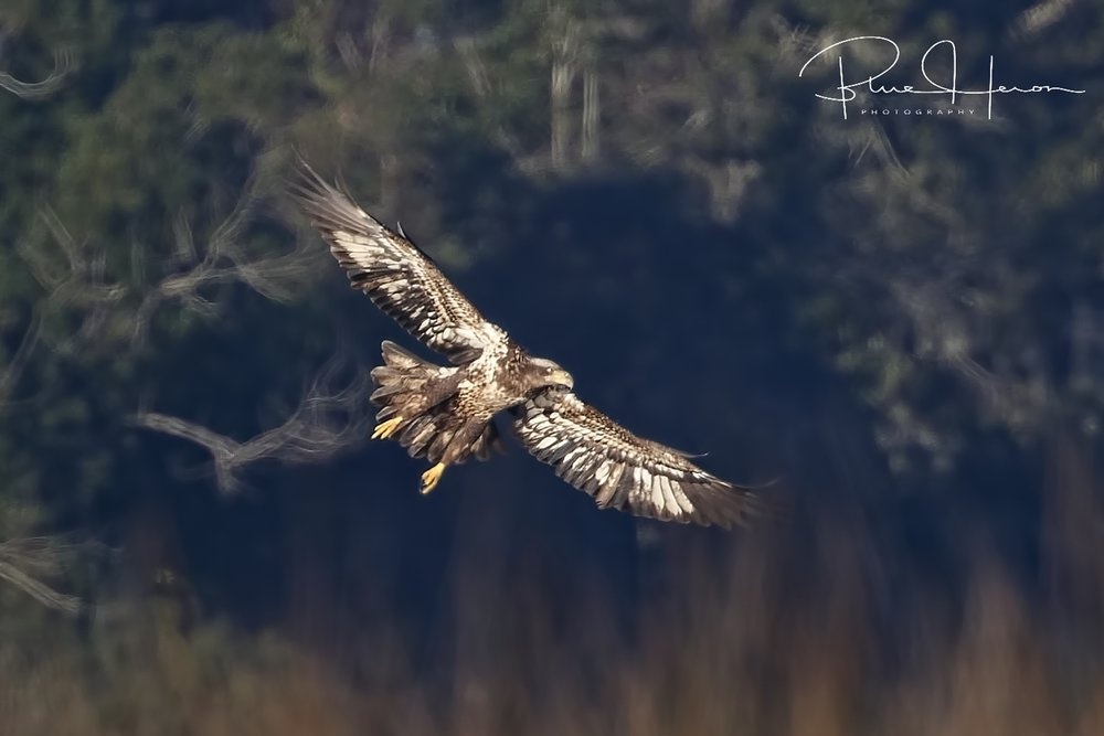 The juvenile Eagle spots some prey and settles into the marsh out of sight..