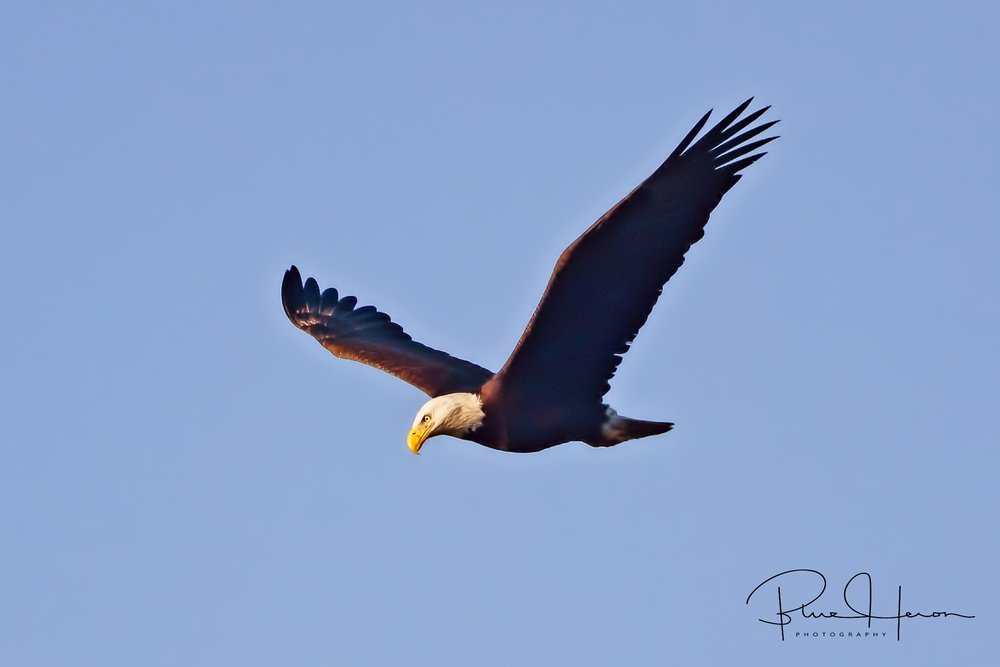 The adult Bald Eagle circles the marsh and lands in a tall pine across the river..
