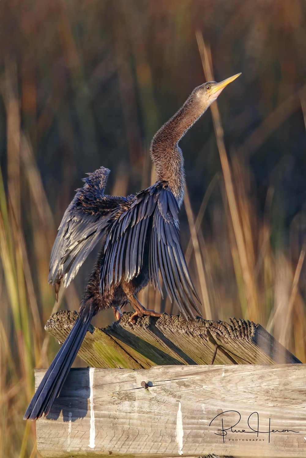 Female Anhinga drying out its wings in the warm morning sun.