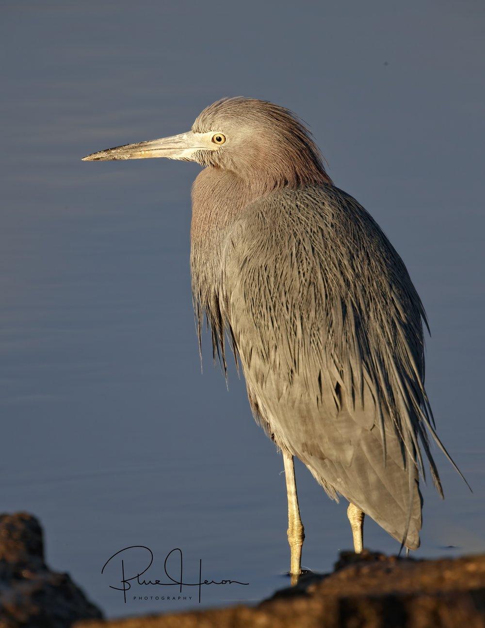 Winter Blues…Little Blue Heron style..