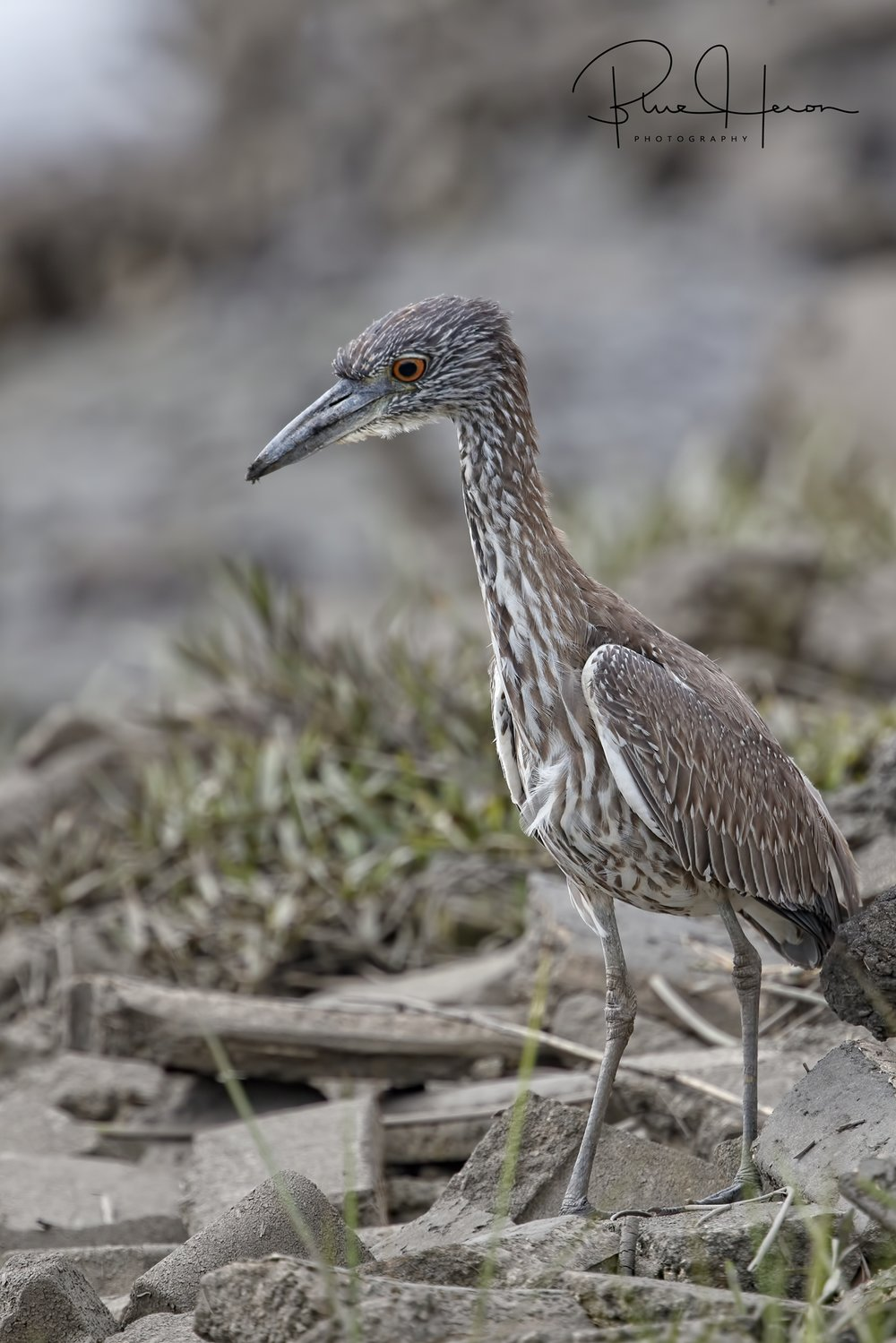 George Jr, the Yellow Crowned Night Heron is in town!
