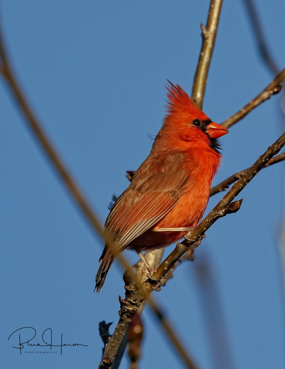 Darn twig ruined my picture of this beautiful Cardinal male