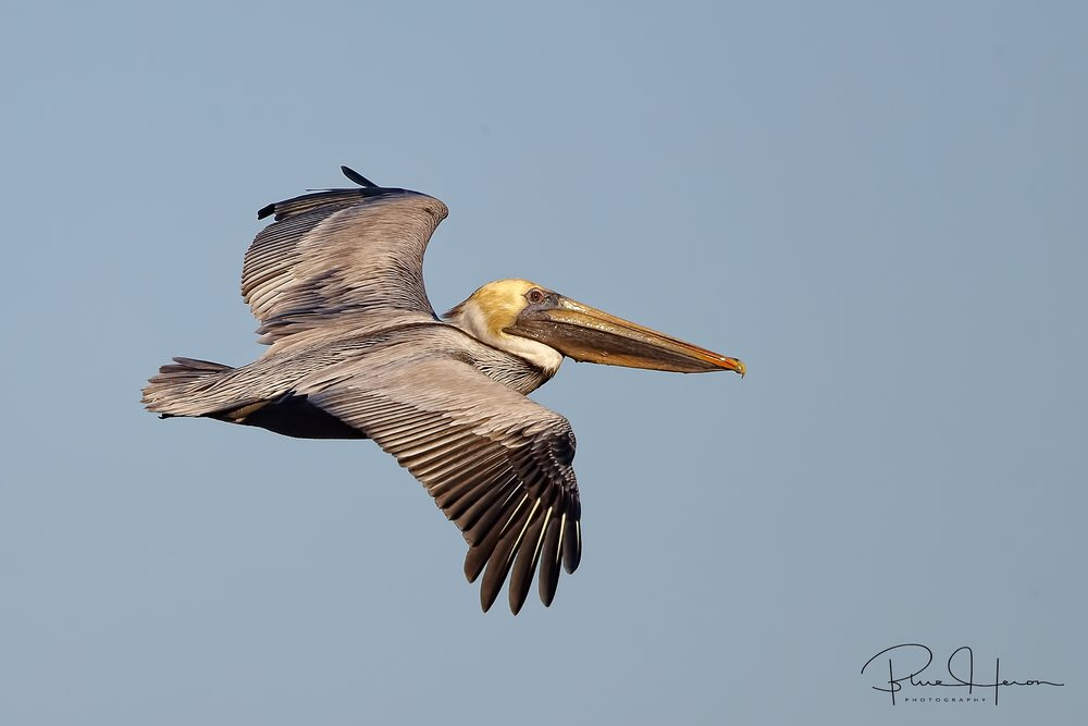Brown Pelican soaring by..