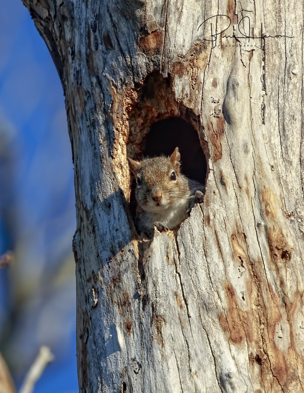 A Grey Squirrel has taken over the Pileated Woodpecker nest