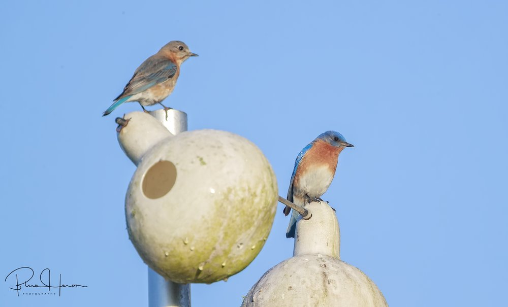 Mr and Mrs Bluebird keeping an eye on the nest. They have a clutch of eggs already..