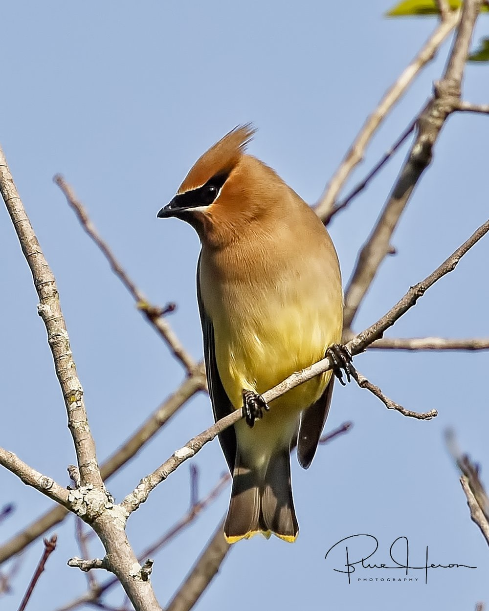 A migrating Cedar Waxwing stopped by for a snack too!