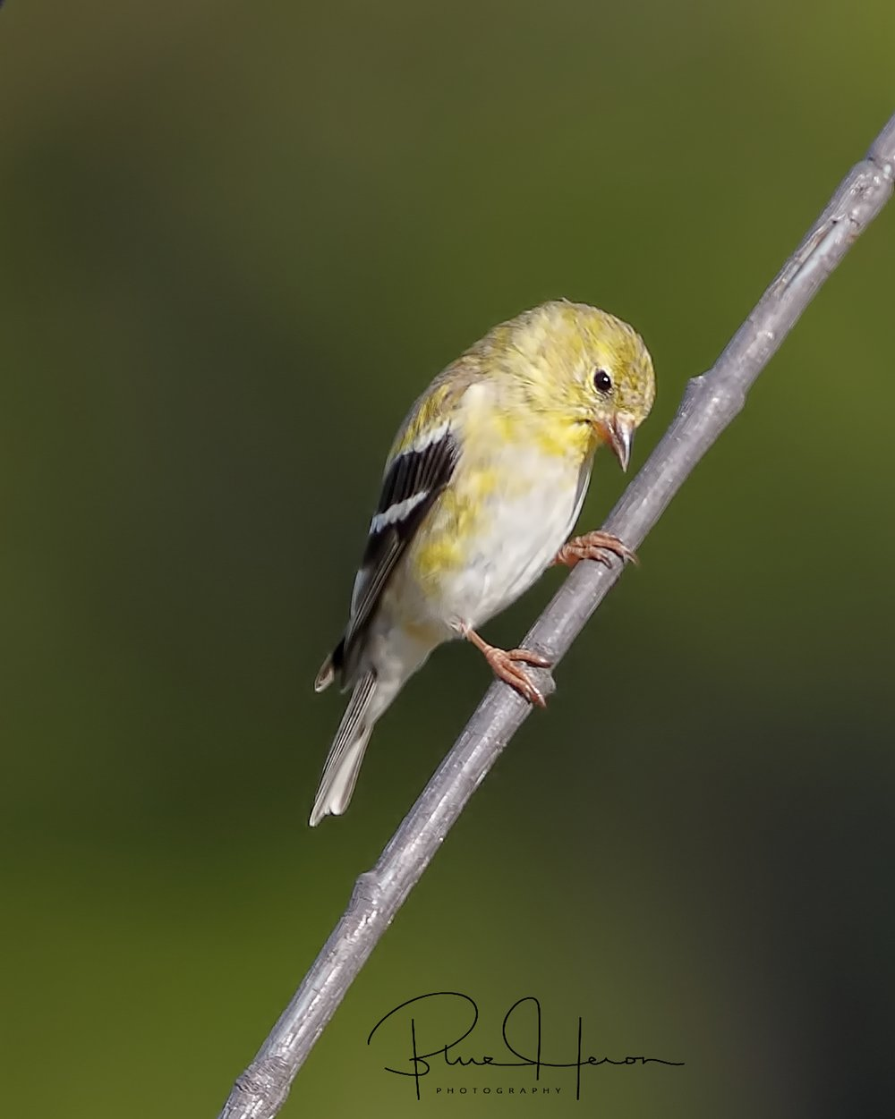 This handsome male Goldfinch poses for a photo op..