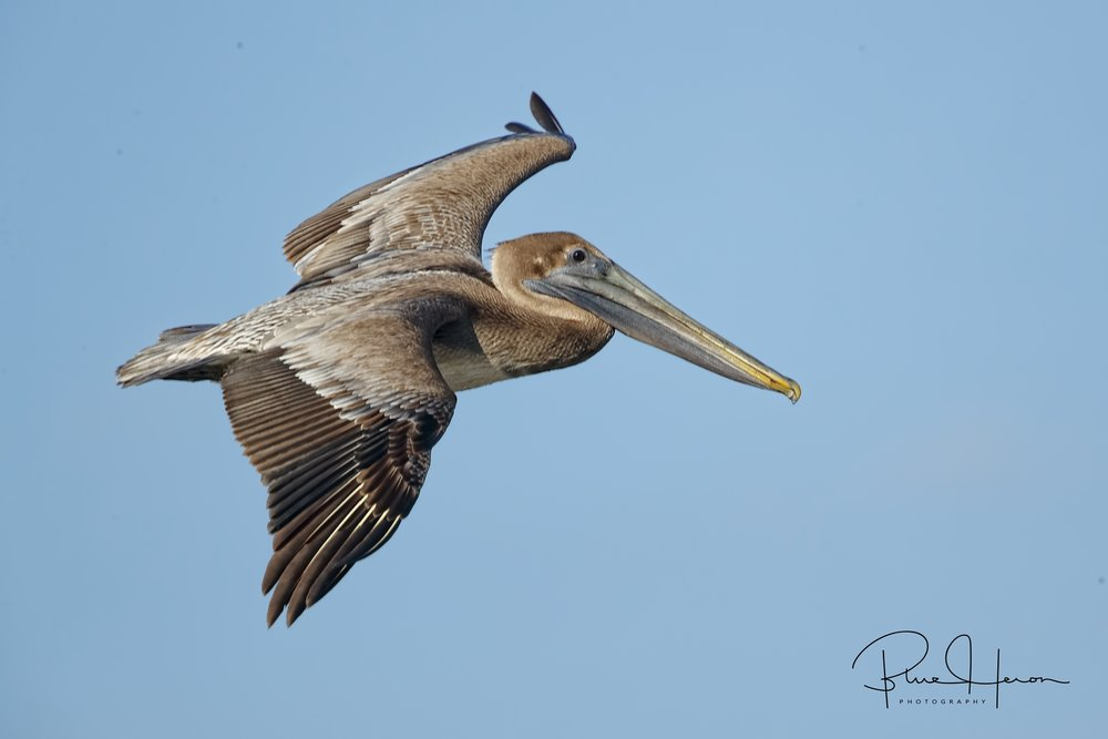 Brown Pelican soars by…
