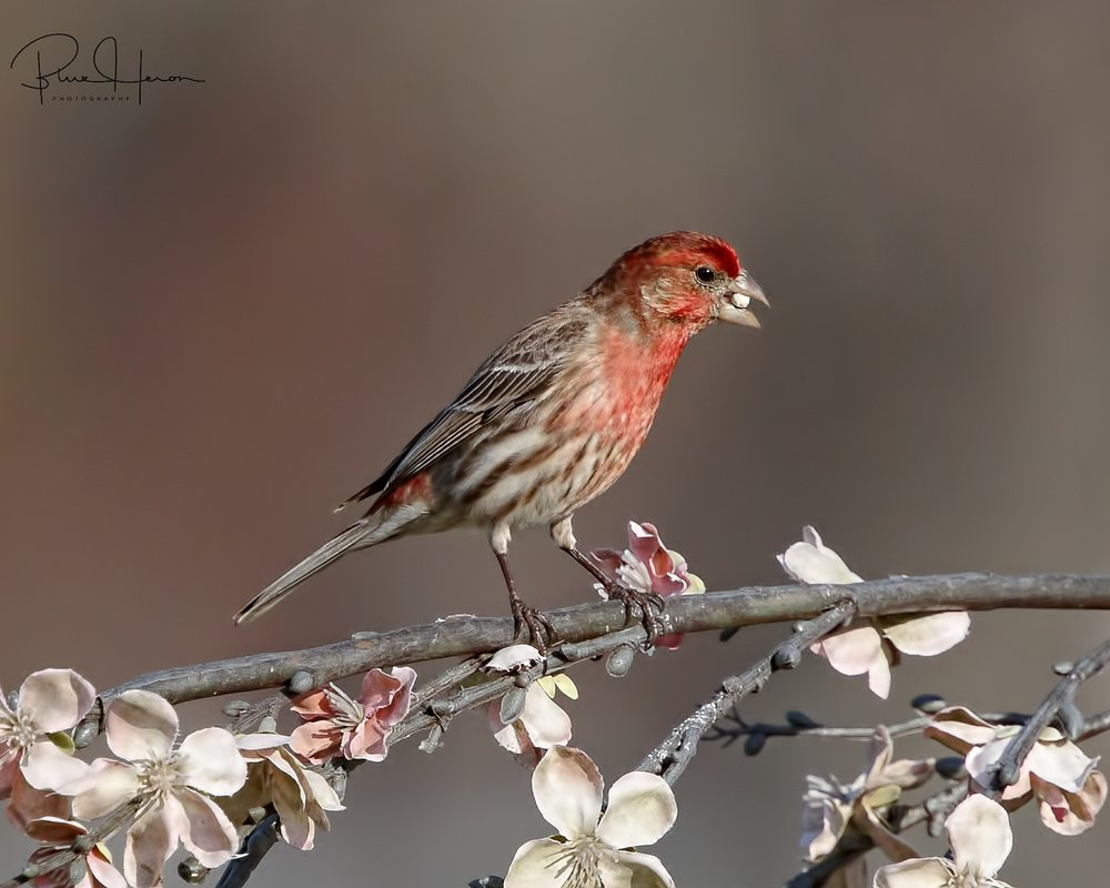 Male House Finch at the feeder