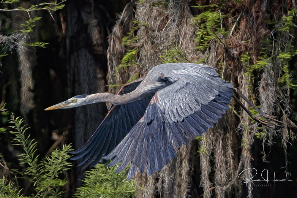 This Great Blue Heron was pretty as a picture so I turned it into one..via Photoshop's oil paint effect (best viewed full screen)