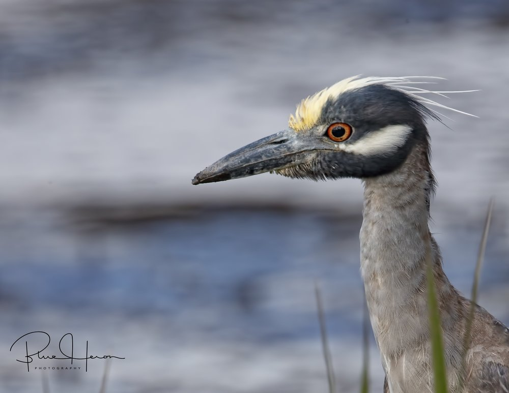 """George the Yellow-crowned Night Heron is back on the Broward! Tell those eagles """"I'll be back"""" too!"""