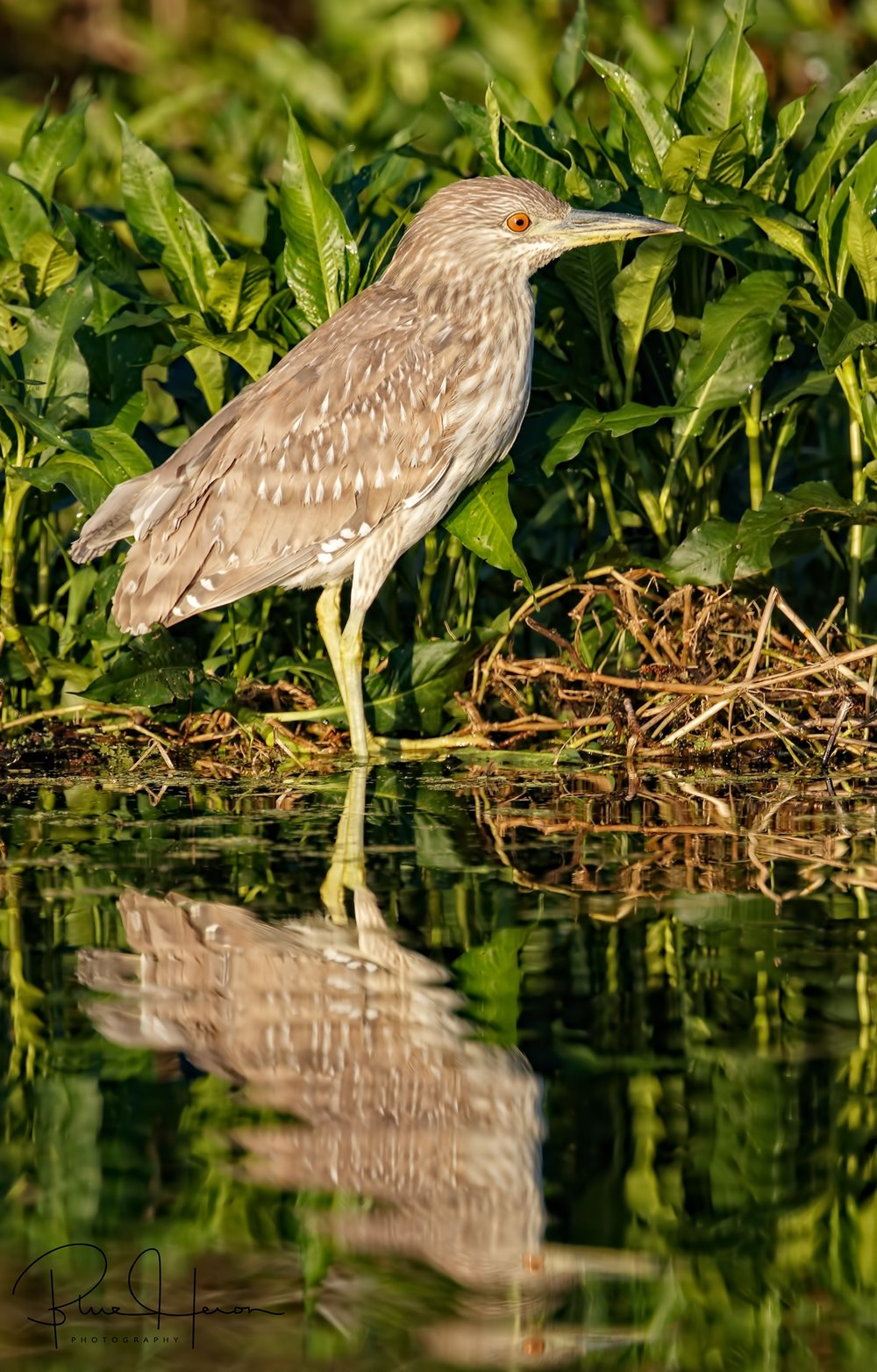 No worries Mr Eagle…I'lll just photograph this boring Juvenile Black Crowned Night Heron instead..